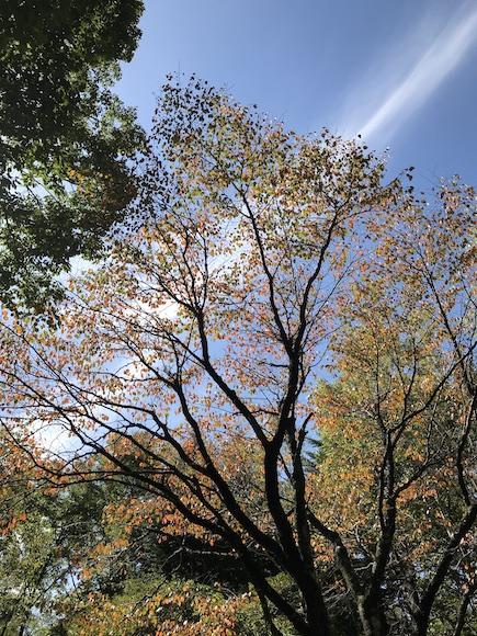 山桜の紅葉.JPG