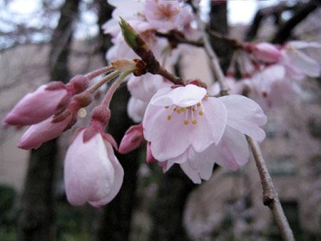 桜アップ1.JPG