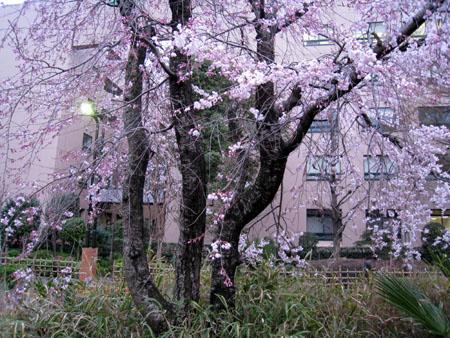 桜全景1.JPG