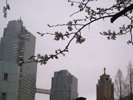 聖路加と桜1.JPG
